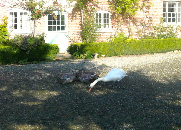 glan-clwyd-isa-ducks-at-farmhouse