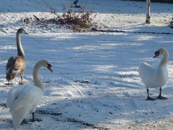 Ducks In The Snow | Glan Clwyd Isa